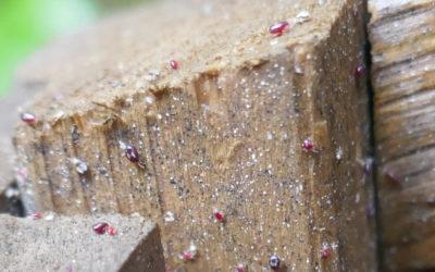 Lutte intégrée préventive contre le pou rouge des volailles
